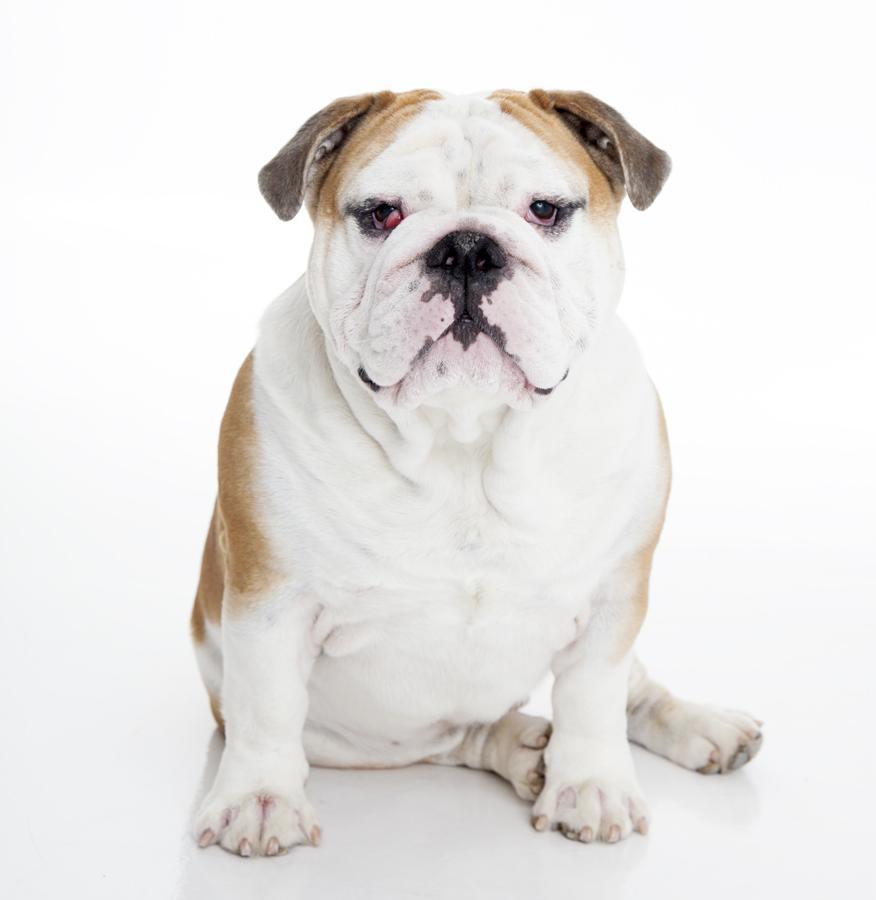 Hundporträtt Täby