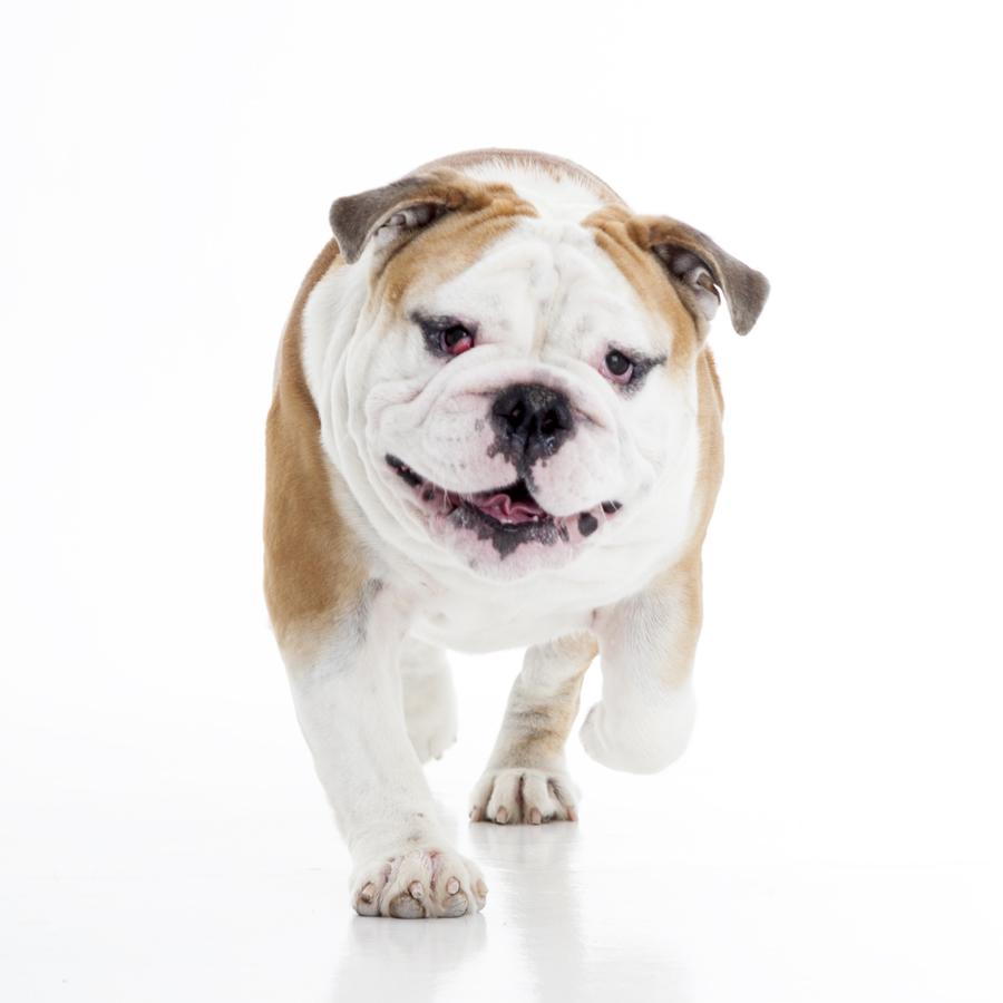 Jonasthebulldog